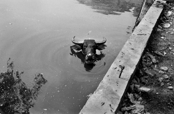 A water buffalo in the pong of Jiangmei Village in Sanhe township. 2009.