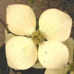 """Dear Dogwood Bloomed"""